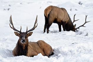 Bull Elk Pair