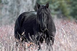 Wild Black Stallion 1