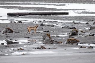 Coastal Wolf Beach 2
