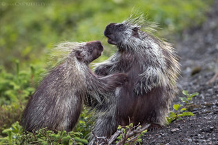 Porcupine Love