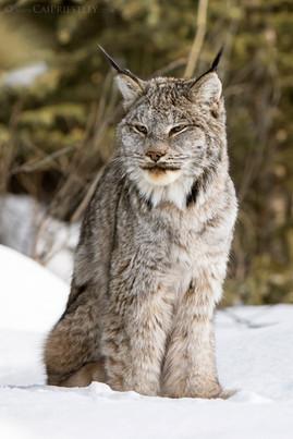 Canadian Lynx 16