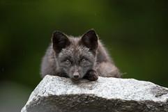 Black Fox Kit 2