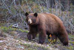 Cinnemon Black Bear