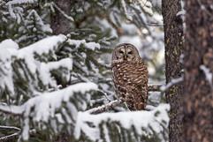 Barred Owl Snow