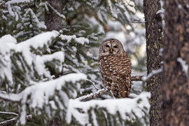 Barred Owl Snow