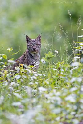 Canadian Lynx 14