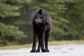 Black Wolf Shake