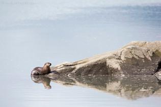 River Otter Reflection