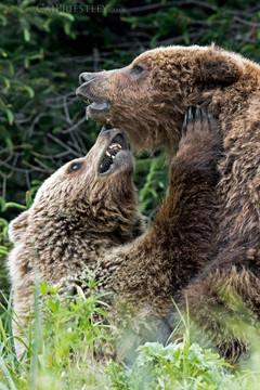 Grizzlies In Love