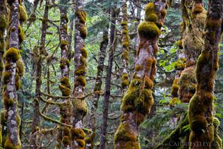 Rainforest Moss