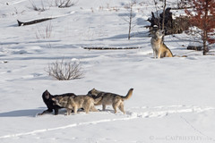 Wolf Pack 2