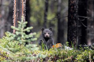 Black Bear Cub 4