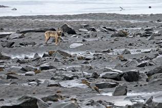 Coastal Wolf Beach 3