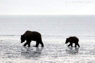 Grizzly Bear Sow And Cub 1