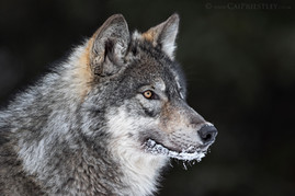 Grey Wolf Portrait 2