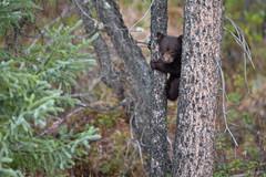 Black Bear Cub 3