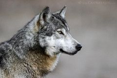 Grey Wolf Portrait 1