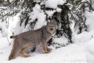 Canadian Lynx 8