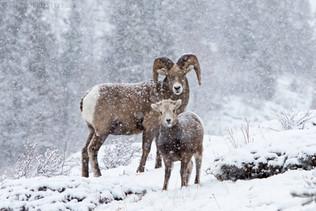 Bighorn Sheep Blizzard