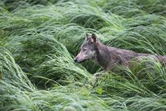 Coastal Wolf Grass