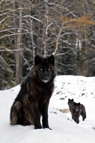 Wolf Pups