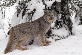 Canadian Lynx 11