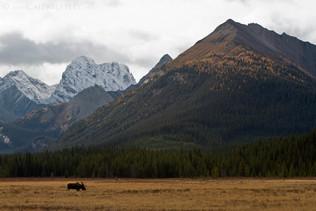Bull Moose Scenic