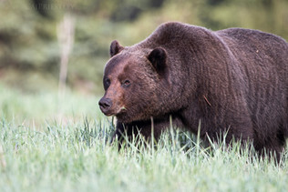 Grizzly Bear 7