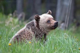 Grizzly Bear Cub 1
