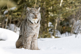 Canadian Lynx 7