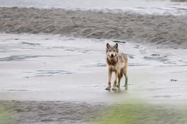 Coastal Wolf Beach 1