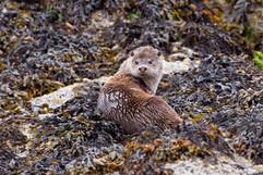 River Otter 8
