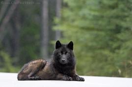 Black Wolf Lying