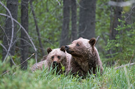 Grizzly Bear Sow And Cub 3