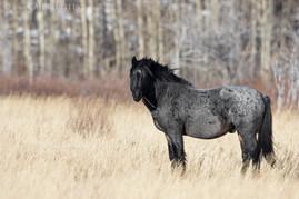 Wild Silver Stallion