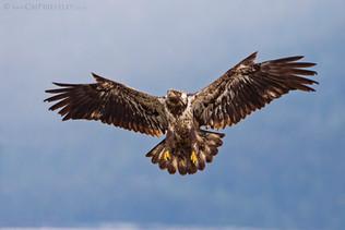 Juvenile Bald Eagle 1