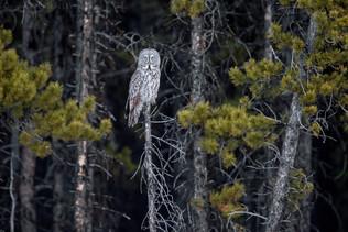 Great Grey Owl 1