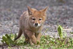 Coyote Pup 1