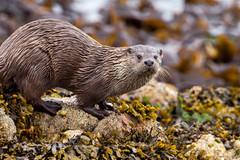 River Otter 4