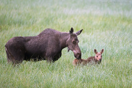 Moose With Calf 3
