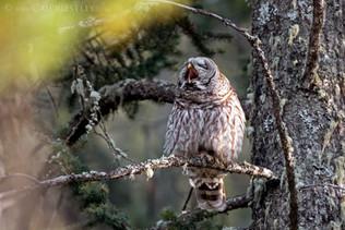 Barred Owl Yawn