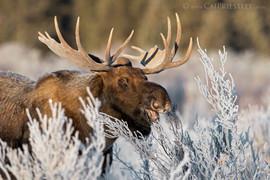 Frosty Bull Moose 3
