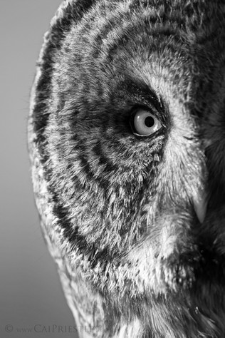 Great Grey Owl B&W