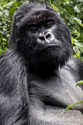 Silverback Gorilla 3