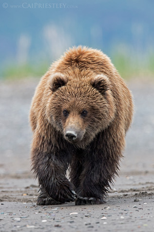 Grizzly Bear 10