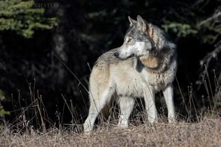 Grey Wolf 5