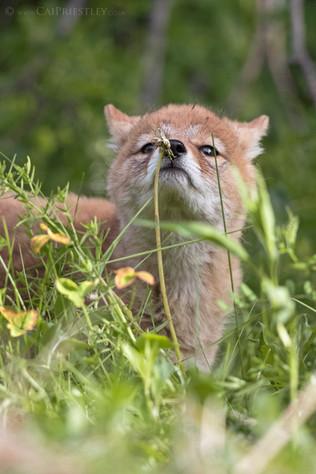 Coyote Pup 3