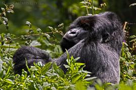 Silverback Gorilla 1