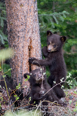 Black Bear Cubs 3