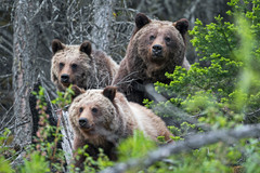 Grizzly Bear Family 3